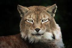 Lynx - animal totem.