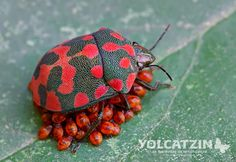 Spotted Red bug - Pachycoris klugii (Burmeister 1835) is a common species in Mexico and Central America. Note: There have been several reports of maternal care.  It corresponds to a subsocial behavior in which the parent offers shelter with its body, carries the nymphs around on its back or venter, or simply stands close by. Maternal behavior was related to egg parasitism, habitat and host plant phenology.
