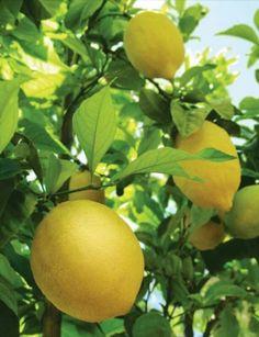 Gorgeous fresh lemons.