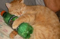 looks exactly like my cat Sunny and loves Mnt. Dew, just like me! Mnt Dew, Mountain Dew, Human Behavior, Funny Animals, Animal Humor, Cats, Soda, Poetry, Google Search