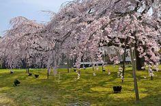 古くからの桜の名所、京都の醍醐寺(だいごじ)。 醍醐寺霊宝館の巨大な枝垂桜は必見です。