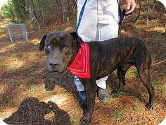 Rome, GA - Bulldog Mix. Meet 15D-1918 (11/15), a dog for adoption. http://www.adoptapet.com/pet/14321927-rome-georgia-bulldog-mix