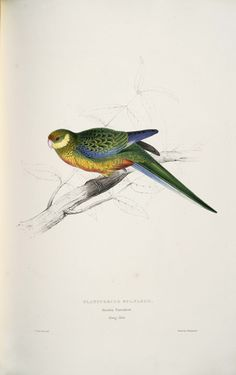 Platycercus icterotis -Platycercus stanleyii Stanley parrakeet -juvenile -by Edward Lear - high resolution image from old book. Vintage Illustration, Science Illustration, Botanical Illustration, Edward Lear, Nature Artists, English Artists, Colorful Birds, Fauna, Decoupage Vintage