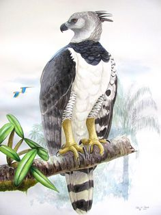 harpy eagle watercolor - Google Search