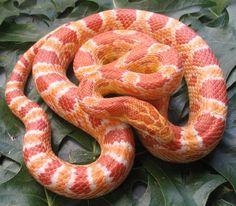 Albino Corn Snake Alb I WANT ONE