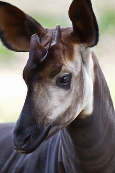 #AnimalFact Okapi are the only living relatives of the giraffe.
