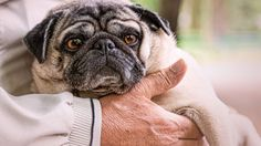 #Scientists have discovered a mutation behind pugs' weird little flat faces - The Verge: The Verge Scientists have discovered a mutation…