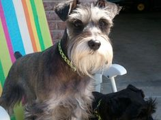 This is Rox, and what a handsome little mini schnauzer he is