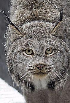 Большие и дикие кошки просто восхитительны!