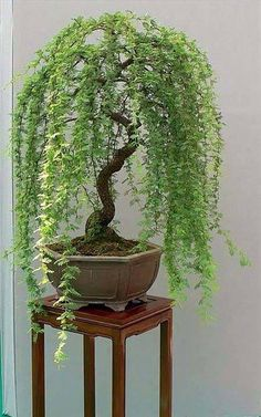 Weeping Willow styled bonsai material...I wish I knew what plant this is...so pretty #bonsaitrees