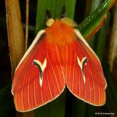 A Saturniid Moth (Cerodirphia mota) photographed by Andreas Kay in Ecuadoron 20th September 2014