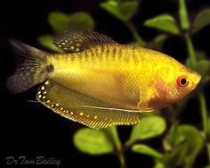 Gold Gouramis.  I have one of these, and he is currently about 5 inches long.  Gold Gouramis can be kept with community fish, but can become aggressive.  Mine does fine in the community tank as long as he is the only male gourami.