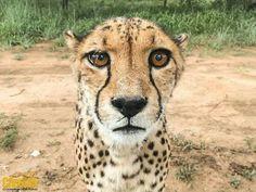 The Camera Makes This Cheetah Look Bigger Than Life.