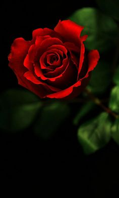 Download 480x800 «Red rose» Cell Phone Wallpaper. Category: Flowers