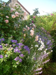 Wealth of flowering roses, campanulas and other plants - weelde van bloeiende planten en bloemen