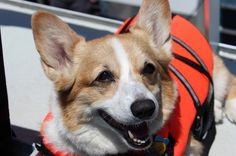 Most of the corgis hated wearing their life jackets, except this guy. Life Jackets, Cute Dog Pictures, Corgis, Baby Dogs, Adorable Animals, Cute Dogs, Addiction, Puppies, Guys
