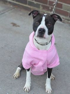 TO BE DESTROYED - 03/12/15 Brooklyn Center  LOVE - A1028529   FEMALE, BLACK / WHITE, AM PIT BULL TER MIX, 1 yr, 6 mos STRAY - STRAY WAIT, NO HOLD Reason STRAY  Intake condition EXAM REQ Intake Date 02/22/2015, From NY 11208, DueOut Date 02/25/2015,  https://www.facebook.com/Urgentdeathrowdogs/photos/pb.152876678058553.-2207520000.1424725812./966369606709252/?type=3&theater  https://www.facebook.com/photo.php?fbid=969669626379250
