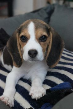 Cute Beagles, Cute Puppies, Cute Dogs, Dogs And Puppies, Cute Puppy Pictures, Cute Animal Photos, Animal Pictures, Animal Intelligence, Funny Animals