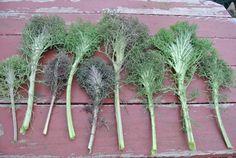 Kale. Brassica napus 'Bear Necessities'