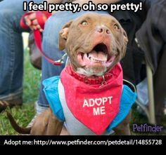 1/14/14 STILL AVAILABLE!! I can't believe this cutesness is still looking for a home!!!! Share this pretty Pit Bull to help her find a home today!