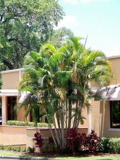 Areca Palm by Eric at PalmTalk