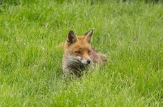 Fox (Vulpes vulpes) by Steven Whitehead, via Flickr