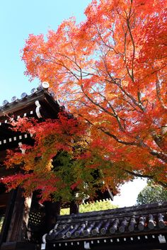 Located : Myomanji Temple, Rakuhoku, Kyoto.  Nov 26, 2013. 京都洛北 妙満寺の紅葉