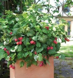 Yummy Patio Gardens: Growing tomato Plants In Pots Luxury Container Gardening Tips for Growing tomatoes and Berries Botanica Growing Tomatoes Indoors, Tips For Growing Tomatoes, Growing Tomato Plants, Growing Tomatoes In Containers, Grow Tomatoes, Raspberry Bush, Raspberry Plants, Container Gardening, Gardening Tips