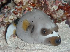 dog-faced puffer fish ~ scientific name - arothron nigropunctatus, from Indian / western pacific oceans on fringing reefs, lagoon patch reefs, reef faces at depths of 10 to 85 ft, it is a semi-agressive creature that eats sponges, stony corals; two of their favorite foods along with squid, krill, clams, hard shelled shrimp