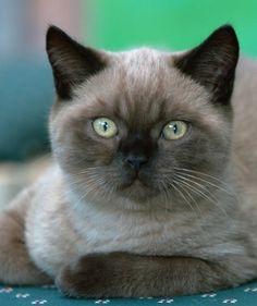 British Shorthair cat Breed Description