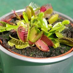 Graines de dionée attrape-mouche, aussi connue sous le nom de plante carnivore. Débarrassez-vous des mouches et moustiques naturellement cet été.