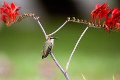 Hummingbird sitting on a flower stalk by debbiecameron, via Flickr