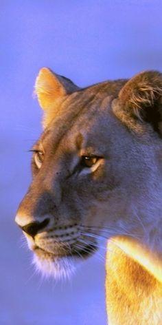 lioness #nature