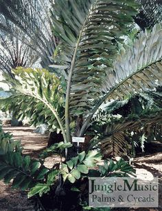 Arenga undulatafolia.  This is an Asian palm, which gets large and full.  Mature specimens are quite stunning.  The also have a beautiful silver underside to the leaf, which you can see in the photo.