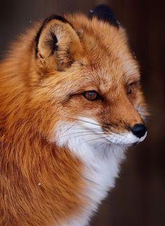 Red fox by Vladimir Naumoff