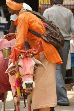 India. Sacred cow