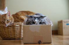 箱入りくろ