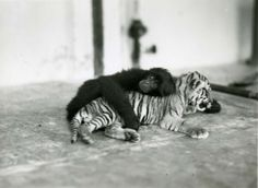 Primate and tiger cub, 1937 byLucile and William Mann