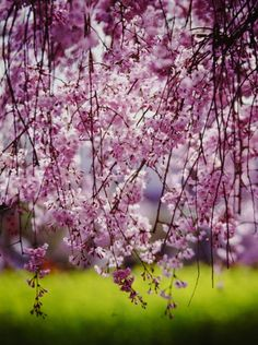 東谷山紅しだれ桜