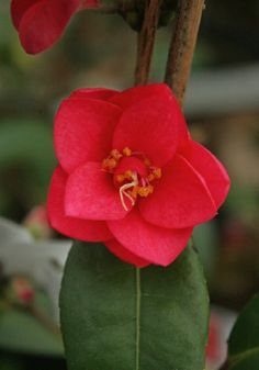 Camellia 'Fairy Wand' is a lovely hybrid, but sadly isn't very cold hardy due to its C. Lovely though, and well worth finding a good spot for. Fairy Wands, Very Cold, Origins, Rose, Spring, Flowers, Plants, Pink, Florals