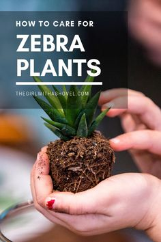 Never have a haworthia die again with these easy-to-follow care tips! FOLLOW THESE SIMPLE HAWORTHIA CARE TIPS TO KEEP YOUR PLANT ALIVE AND HEALTHY! Haworthia Care Tips | Zebra Plant Care | How to Care for a Haworthia | Zebra Plant Succulents Care | Haworthia Zebra Plant Care | Indoor Zebra Plant Care | Zebra Plant Care Houseplant | House Plants Decor, Plant Decor, Zebra Plant, Crescent Recipes, Apartment Plants, Plant Guide, Propagating Succulents, Best Indoor Plants, Succulent Care