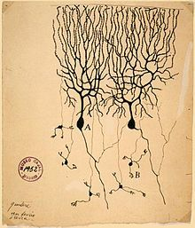 Drawing by Santiago Ramón y Cajal of two types of Golgi-stained neurons from the cerebellum of a pigeon
