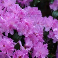 Rhododendron 'PJM Elite', 'PJM Elite' Rhododendron, PJM Group, Early Midseason Rhododendron, Evergreen Rhododendron, Purple Rhododendron, Purple Flowering Shrub