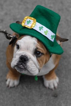 Top of the adorable baby bulldog morning to you! #dogs #puppies #bulldogs #St_Patricks_Day