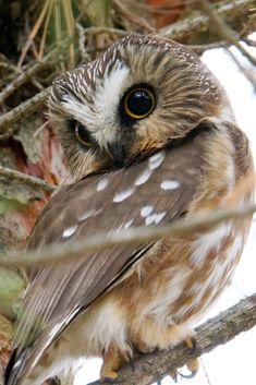 Northern Saw-Whet Owl (Aegolius acadicus) Owl Photos, Owl Pictures, Owl Pics, Saw Whet Owl, Hawk Bird, Great Grey Owl, Pet Birds, Birds 2, Baby Owls