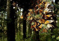 Ve vysokých polohách, kde se motýli nacházejí, může být velmi chladno, a během chladných rán a večerů se motýli kvůli teplu tisknou k sobě. Když však sluneční paprsky proniknou skrz stromy a motýly zahřejí, ti se v obrovských počtech vznesou k nebi.        Jedno z největší tajemství migrace je, proč motýli každý rok přespávají na přesně těch samých stromech. Jak motýli poznají ty správné stromy, protože žádný z nich nikdy nemůže absolvovat migraci dvakrát