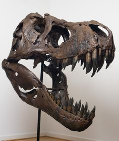 T-Rex Skull is a must have in the Man Cave