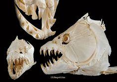 Goliath Tiger Fish Skull
