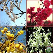 120 unids semillas de ciruela, árbol de la flor semillas, 24 especies selección(China (Mainland))
