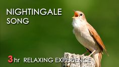 Nightingale Song - (Relaxing Nature Video 3 Hours) Relaxing clear sound of Nightingale singing accompanied by the gentle rippling of a peaceful river flowing through a lush green forest. Sounds Of Birds, Nature Sounds, Nightingale Bird, Animiertes Gif, Relaxation Meditation, Nature Music, Relaxing Music, Sound Of Music, Beautiful Birds